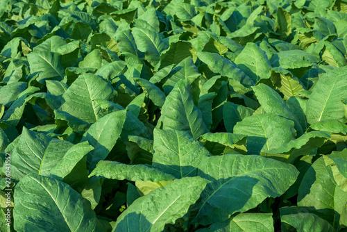 Garden Poster Spring Tobacco plant in field