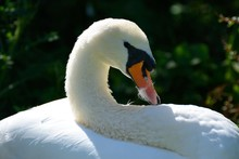 Portrait Of Mute Swan, Cygnini...