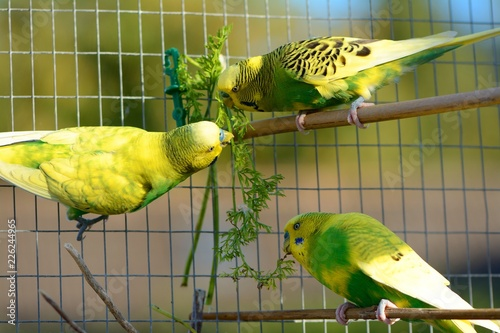 Greens are good for you! 3 budgies enjoying a snack of carrot tops.