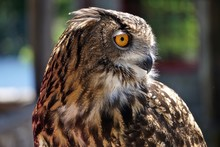 Close-up Of A Young Eurasian Eagle-owl (Bubo Bubo) -- One Of The Largest Species Of Owl.