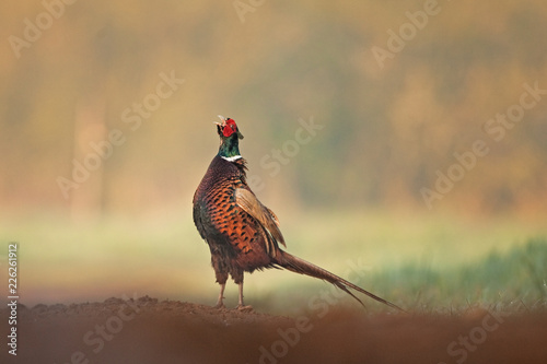 common pheasant, phasianus colchicus, Czech republic