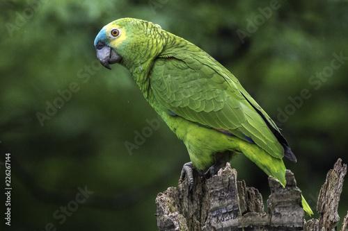 Fotobehang Papegaai Papagaio verdadeiro