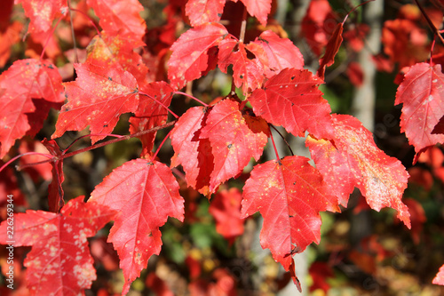 Red foliage of Tatarian maple (Acer tataricum) illuminated by autumn sun