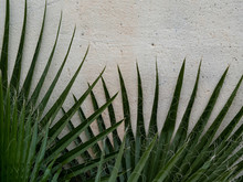 Palm Tree Branches Against Wall