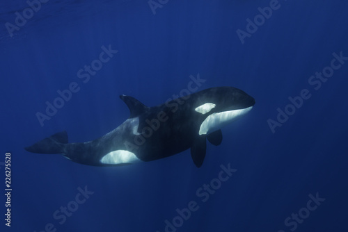 Spoed Foto op Canvas Dolfijn Killer whales swimming in the blue Pacific Ocean offshore from the North Island, New Zealand.
