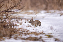 Eastern Cottontail Rabbit In Snow