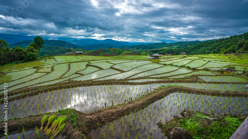 Foto op Canvas Olijf Natural Organic Rice Field Background