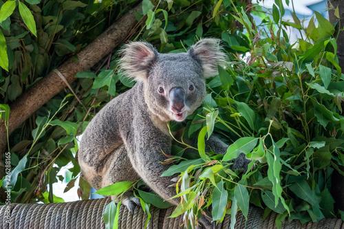 Fotobehang Koala koala bear
