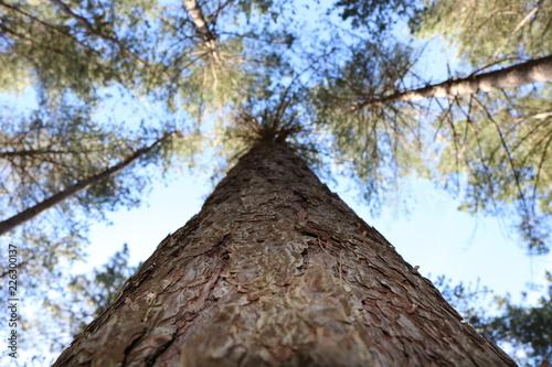 Perspective d'un tronc de pin