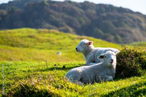 Foto op Plexiglas Weide, Moeras A sheep grazing on the green farm. Fresh sunny with a warm light day.