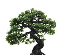 Isolated Single Bonsai Tree