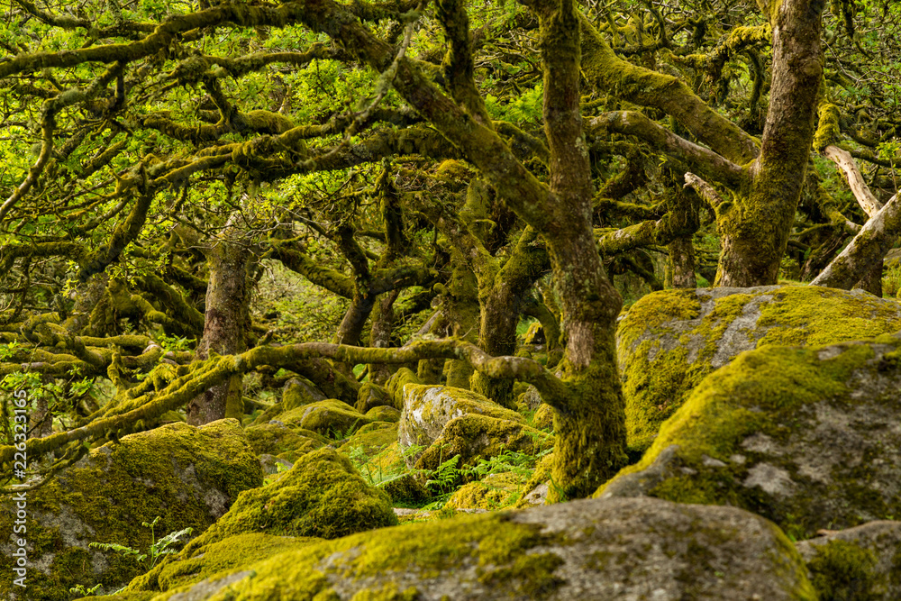 wistmans wood - Dartmoor forest with moss on oak trees