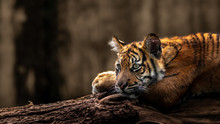 Little Sumatran Tiger