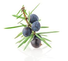 Juniper Twig With Berries Isol...