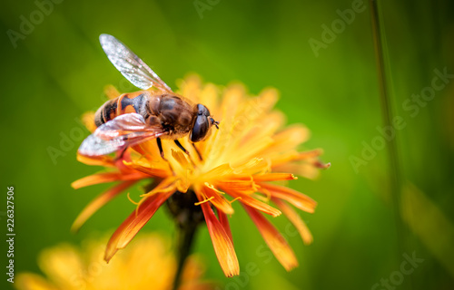 Recess Fitting Bee Bee collects nectar from flower crepis alpina