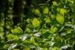 Buchenzweig im Wald im Frühjahr