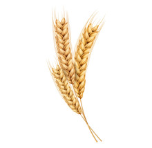 Vector Wheat Ears Spikelets Realistic With Grains