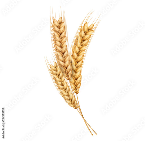 Obraz Vector wheat ears spikelets realistic with grains - fototapety do salonu