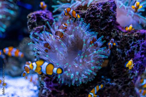 Tela Tropical fish Clownfish (Amphiprioninae) among corals.
