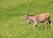 View Of A Common Eland Antelop...
