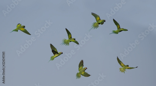 Fotografie, Obraz Red-breasted parakeet flying on blue sky