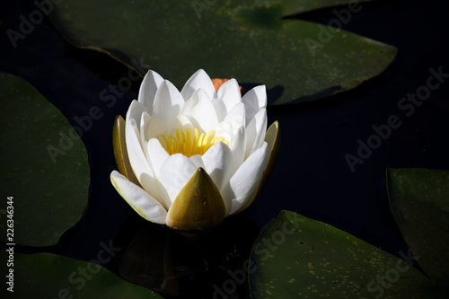 In de dag Waterlelies White Lotus flower - a water lily on a dark background.
