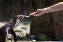 Hand Feeding A Humboldt Pengui...