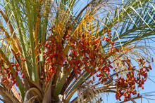 Date Palm Fruits, Cluster Of D...