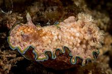 Doris Sea Slug Nudibranch