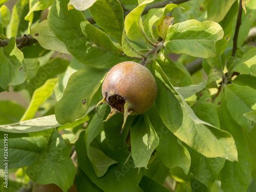 Fruit du néflier commun (Mespilus germanica) ou aubépine d'Allemagne nommés nèfl Canvas Print