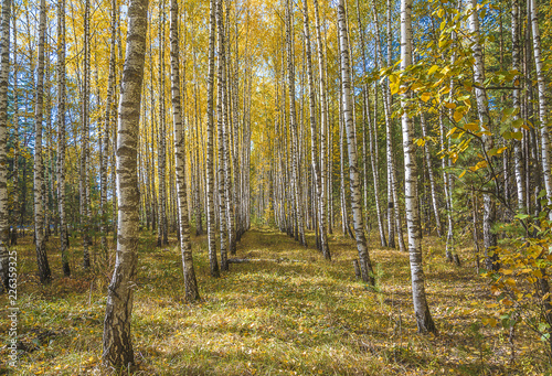 Deurstickers Honing Beautiful autumn landscape: yellow birches and blue sky