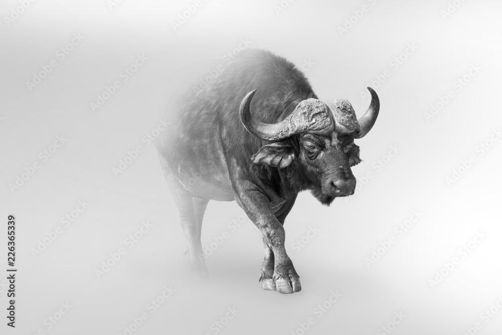 Fototapeta buffalo isolated on white background one of the big 5 animals of africa