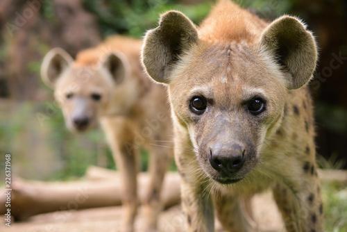Foto op Aluminium Hyena spotted hyena