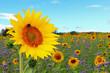 canvas print picture - Sonnenblumen (Helianthus annuus)