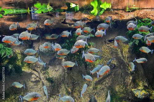Pygocentrus nattereri Canvas-taulu