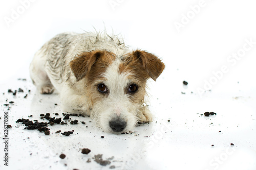 Fotografía  DIRTY JACK RUSSELL DOG LYING DOWN ON FLOOR AFTER PLAY IN A MUD PUDDLE ISOLATED ON WHITE BACKGROUND