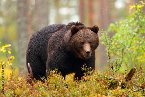 Big brown bear walking in a forest in fall season