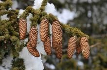 Spruce Tree Cones
