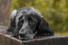 Autumn Portrait Of Dog Russian Spaniel Breed
