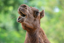 Close Up Camel Face While Eati...