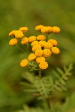 Tansy (Tanacetum Vulgare) Is A Perennial, Herbaceous Flowering Plant Of The Aster Family, Native To Temperate Europe And Asia.