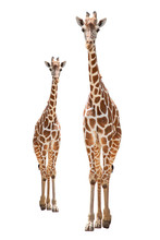 A Giraffe's Habitat Is Usually Found In African Savannas, Grasslands Or Open Woodlands. Isolated On White Background