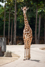 A Giraffe's Habitat Is Usually Found In African Savannas, Grasslands Or Open Woodlands