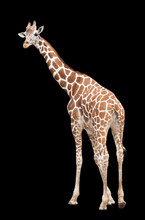 A Giraffe's Habitat Is Usually Found In African Savannas, Grasslands Or Open Woodlands. Isolated On Black Background