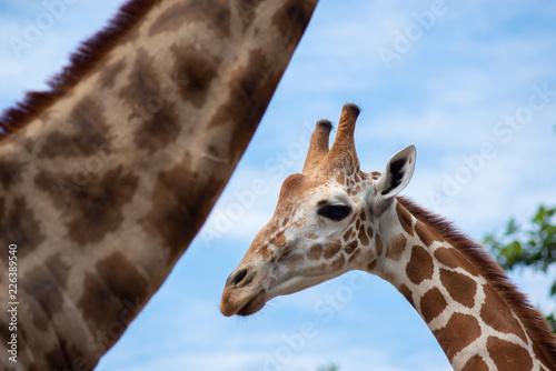 Tuinposter Giraffe A giraffe's habitat is usually found in African savannas, grasslands or open woodlands