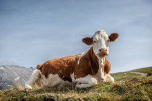 Cow Lying On The Grass, With The Seiser Alm As Bakground
