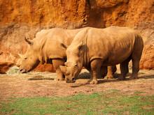 View Of Two White Rhinos