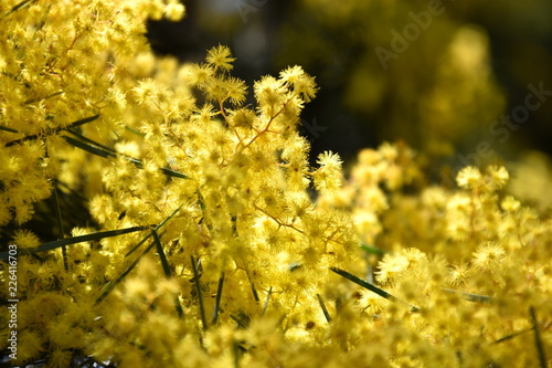 Acacia Pycnantha Commonly Known As The Golden Wattle Is Australia