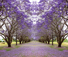 Beautiful Jacaranda Trees In N...