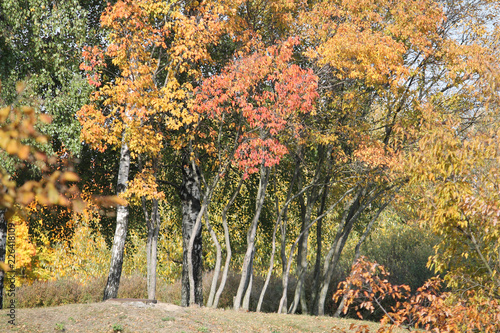 Autumn landscape. Group of Tatarian maples (Acer tataricum) with red and yellow foliage and birch